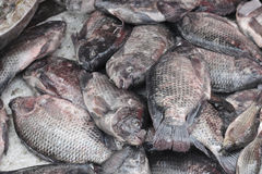 Nile tilapia fish. Stock Photography
