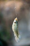Nile tilapia fish hanging on hook Royalty Free Stock Photo