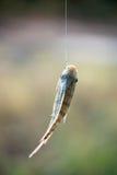 Nile tilapia fish hanging on hook Royalty Free Stock Photography