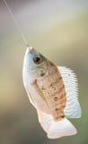 Nile tilapia fish hanging on hook Stock Image
