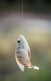 Nile tilapia fish hanging on hook Royalty Free Stock Photos