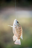 Nile tilapia fish hanging on hook Royalty Free Stock Images