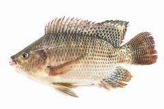 Free Nile Tilapia Fish Isolated On White Background, Fish Meat Royalty Free Stock Photos - 144891588