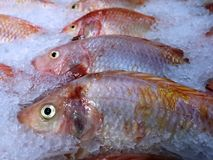 Nile Tilapia Fish jaune congelée dans la pile de la glace Images libres de droits