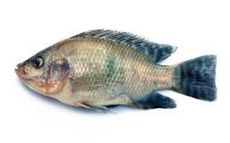 Nile Tilapia fish on white background Royalty Free Stock Image