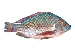 Nile Tilapia fish. On white background stock photo