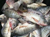 Nile Tilapia fishes Stock Photos