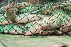 Nile tilapia fishes in the net. From Thailand Royalty Free Stock Photography