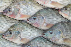 Nile Tilapia Royalty Free Stock Photos