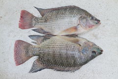 Nile Tilapia Stock Photography