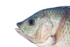 Free Nile Tilapia , Freshwater Fish,asia Royalty Free Stock Photography - 133324537