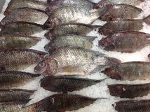 Nile tilapia. On the ice bath at supermarket stock image