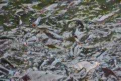 Nile Tilapia Industry The-de vissen zijn gemakkelijk te groeien stock afbeeldingen
