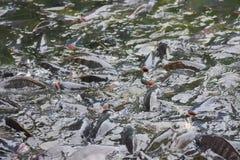Nile Tilapia Industry Fish buona per il buon gusto dei prezzi è popolare nello stagno con grano immagine stock