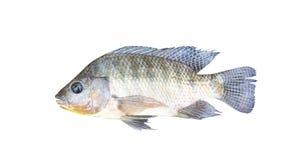 Nile tilapia isolated on white background , freshwater fish royalty free stock photos