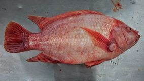 NILE TILAPIA. New breed in Thailand Royalty Free Stock Image