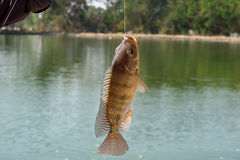 Nile tilapia (Oreochromis niloticus). Object of sport fishing in Thailand Royalty Free Stock Photography