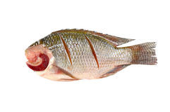 Nile Tilapia on a white background Royalty Free Stock Photography