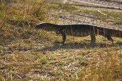 Nilenbildskärm, Varanusniloticus, Bwabwata nationalpark, Namibia Royaltyfri Bild