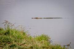 Nilenkrokodil i en vattenfördämning Royaltyfria Foton