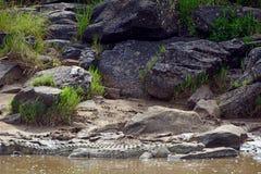 Nilenkrokodil, Maasai Mara Game Reserve, Kenya Arkivbilder