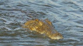 Nilenkrokodil som fångar och äter en fisk