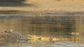 Nilenkrokodil som värma sig i grunt vatten