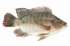 Nilentilapiafisk som isoleras p? vit bakgrund, fiskk?tt royaltyfri foto