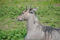 nilgai антилопы Стоковая Фотография