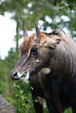Nilgai Royalty Free Stock Photography