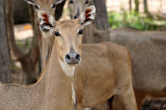 Nilgai Royalty Free Stock Photo