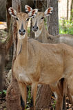 Nilgai Royalty Free Stock Photos