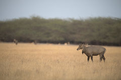 Nilgai Photos stock