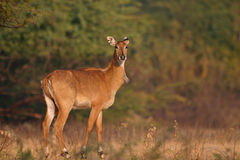 Nilgai, aka blue bull Royalty Free Stock Images