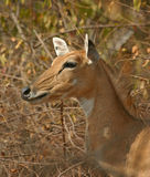 Nilgai, aka blue bull Stock Photo