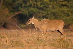 Nilgai, aka blue bull Royalty Free Stock Image