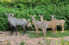 Nilgai Stock Photos