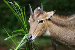 Nilgai Antelope. The nilgai (Boselaphus tragocamelus), sometimes called nilgau, is an antelope, and is one of the most commonly seen wild animals of central and Stock Photo