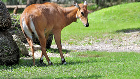 Nilgai Antelope Stock Photos