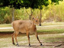 Nilgai antelope Royalty Free Stock Images