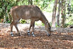 Nilgai antelope eating Stock Image