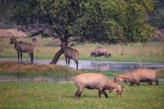 Nilgai antelopes Boselaphus tragocamelus in Keoladeo Ghana Nat Royalty Free Stock Image