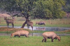 Nilgai antelopes Boselaphus tragocamelus in Keoladeo Ghana Nat. Ional Park, Bharatpur, India. Nilgai is the largest Asian antelope and is endemic to the Indian Stock Image