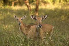 Nilgai antelopes, Sariska Game Reserve, Rajasthan, India Stock Photos