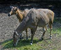 Nilgai antelopes 2 stock photography
