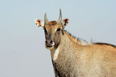 Nilgai - Blue Bull of India Royalty Free Stock Images