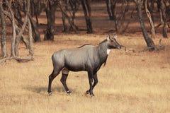 Nilgai (Boselaphus tragocamelus) Zdjęcia Stock