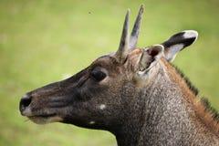 Nilgai (Boselaphus tragocamelus). Stock Photography