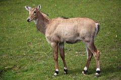Nilgai (Boselaphus tragocamelus). Royalty Free Stock Photography