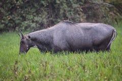 Nilgai Boselaphus tragocamelus feeding in Keoladeo Ghana Natio Stock Images